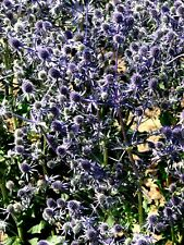 BLUEST SEA HOLLY! Eryngium Planum Hardy Perennial Thistle 10 Seeds