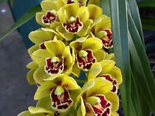 "Bin-Cym. Sunshine Falls ""Butterball"" Warm Growing-Grows like a weed Orchid Plant"