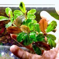 bucephalandra Sp, Brownie series type