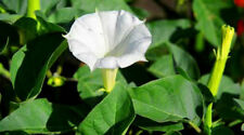 White Datura Jimson Flower! 10 SEEDS  HUGE FLOWERS! EASY TO GROW! Comb. S/H!