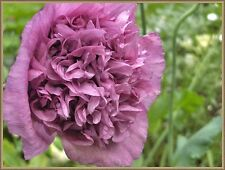 Violetta Blush Poppy 200 Seeds Beautiful Large Pinkish/Purple Blooms
