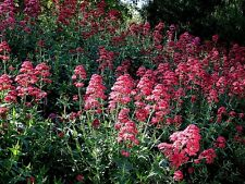 Centranthus ruber (Red Valerian) x 30 seeds. Flower, hardy perennial
