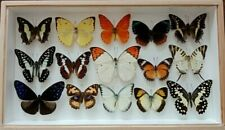 Rare Real 15 mix butterfly insect display taxidermy wood frame collectible gift