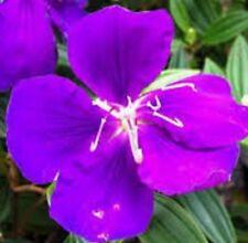 GROOVY BABY TIBOUCHINA Dwarf vibrant purple flowers hardy plant in 180mm pot