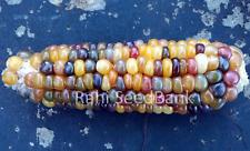 Corn Glass Gem Shadhin - A Beautiful Rainbow Colored Glass Gem Corn Variety!!!