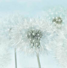 Dandelion I by Kevin  Twomey Print Poster Flowers Floral 12x12