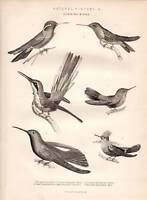 1877 Stampa Naturale Storia Colibrì Uccelli Violetto Orecchie