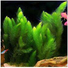 Hornwort Live Fish Tank Plants Aquarium - 15+ stems - Free Shipping
