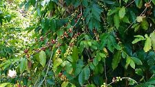 Coffee Bean Plant Seeds - BRAZILIAN PEABERRY - Tropical Coffee Plant - 25 Seeds