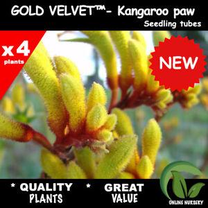 4x Gold velvet™ - Kangaroo Paws seedlings | Tubes | Native | Anigozanthos | Gold