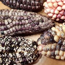 Bunter MAIS  wie  Zebra gemustert (Zea mays japonica) für Popcorn, sehr süß,