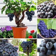 5x Zimmer Trauben Kernen Schwarze Traube Baum Samen Obst Bonsai Zimmerpf. #422