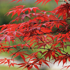 10 X JAPANESE MAPLE TREE Acer Palmatum Red Maple Seeds New