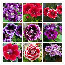 Gloxinia Seeds. 100 seeds, mix color