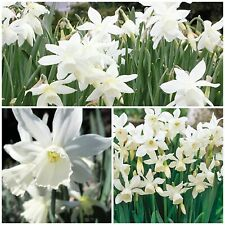 Thalia Narcissus x 30 Bulbs. Pretty White Rockery Spring Flowers