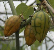 Adenia venenata, 20 seeds, fresh harvest