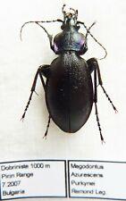 Carabus megodontus violaceus purkynei (female A1) from BULGARIA