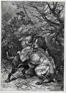 Dog Pit Bull Terrier Fighting Wolf as Hunter Watches, Large 1880s Antique Print