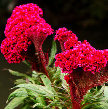 400 Giant Cockscomb Seeds Celosia Cristata Garden Flowers S026