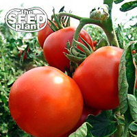 Rutgers Tomato Seeds - 125 SEEDS - NON-GMO