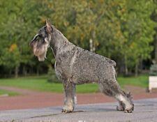 Metal Fridge Magnet Standing Black Silver Schnauzer Dog Dogs