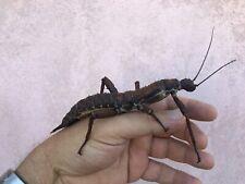 GIANT Eurycantha calcarata fertil eggs x50/stick insect/Phasmids