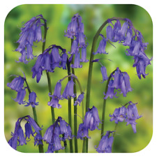 English Bluebell Seeds x Approx 220,000 Ripe Fresh Seed (1kg value bulk buy)
