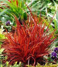 Uncinia rubra - Red Hook Sedge - 40 Seeds - Ornamental Grass - Industrial Agaves