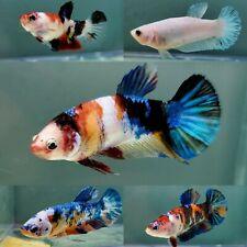 2 Live Betta Female Fish Halfmoon Plakat HMPK  Koi Galaxy USA SELLER