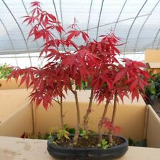20Pcs/bag Exotic Japanese Red Maple Tree Seed Perennial Indoor Bonsai Plant
