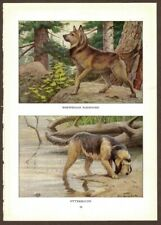 Norwegian Elkhound Otterhound Dog Print by Fuertes 1919