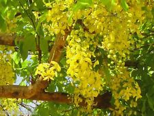 200 Seeds of Cassia fistula golden shower tree Ornamental avenue tree Yellow