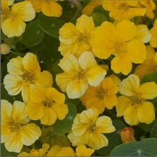 Flower - Kings Seeds - Picture Packet - Nasturtium - Banana Cream - 30 Seed