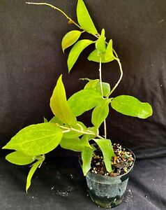 Hoya pottsii IML 616, wax plant