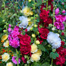 HK- 100Pcs Hollyhock Summer Carnival Colorful Chaters Flower Seeds Garden Decor