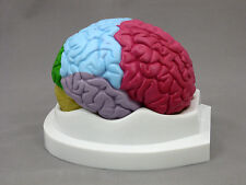 2 Part Colored Brain Anatomical Model New