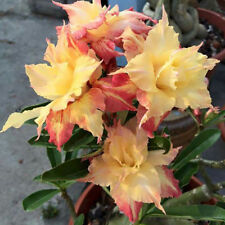 Adenium Obesum Seeds Desert Rose Seeds Bonsai Flower Rose Seeds 1 Piece/ bag
