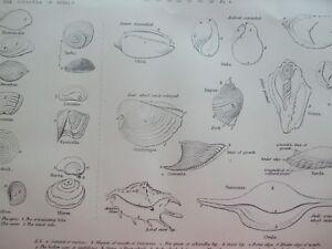 ANTIQUE PRINT C1870'S MOLLUSCA ENGRAVING SHELLS MARINE OPERCULA OF SHELLS ART