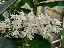 Dendrobium Species ´Pure White´ 4N Orchidee Orchideen