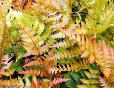 3 x Fern Jumbo Plug Plants 'Dryopteris Autumn' Perennial Shade Lover