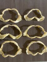 Lot of 6 Dusky Shark Jaws Carcharhinus obscurus Shark Teeth Real Jaws B Grade