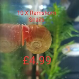 10x Mixed Ramshorn snails aquarium tank cleaners algae eaters tropical and cold