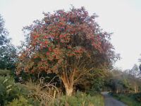 Eberesche -Sorbus aucuparia- 1000 Samen