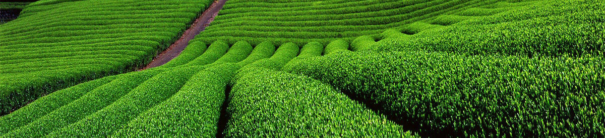Matcha Tea Garden