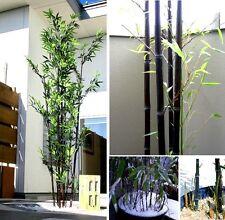 Schwarzer Riesen-Bambus für draußen & drinnen / wächst auch im Topf gut !  Samen