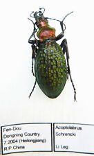 Carabus acoptolabrus schrencki (female A1) from CHINA (Carabidae)
