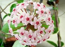 Varigated Hoya Krimson Queen Wax Plant x 1 well rooted cutting