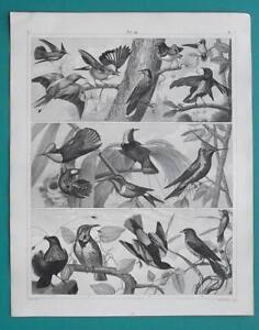 BIRDS Jay Nutcracker Paradise Hummingbird Oriole Swallow - 1844 Superb Print