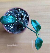 Hoya globulosa - plant, waxplant, cutting with leaves ROOTED