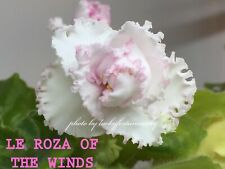 African Violet Plant * Le-Roza Of The Winds *Russian/Ukrainian. Standard